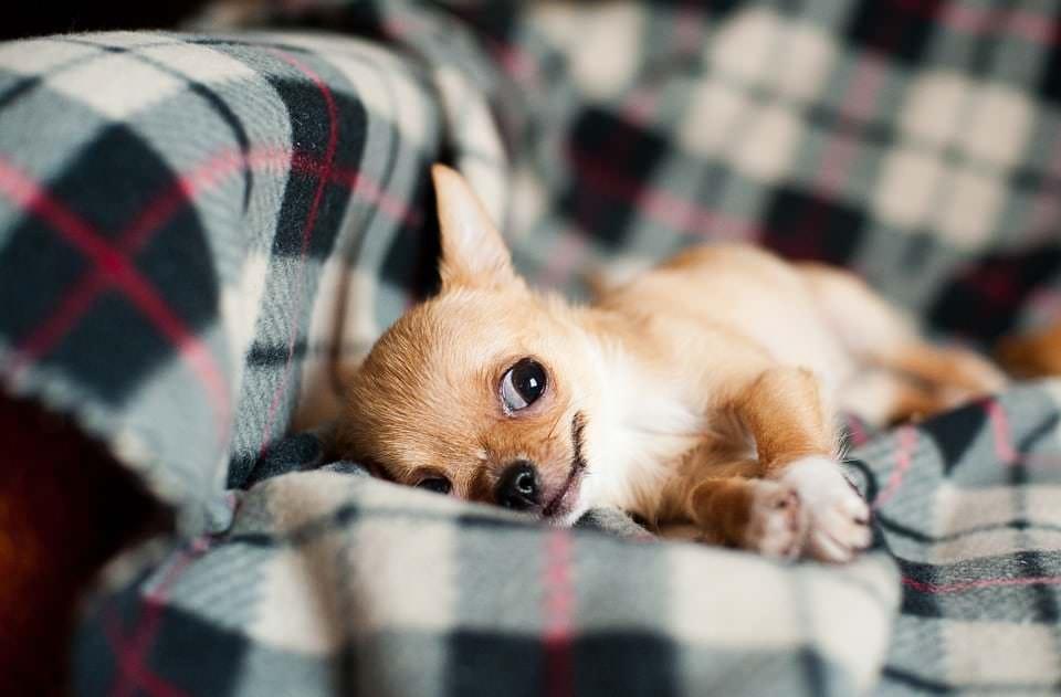 Rasseporträt Chihuahua