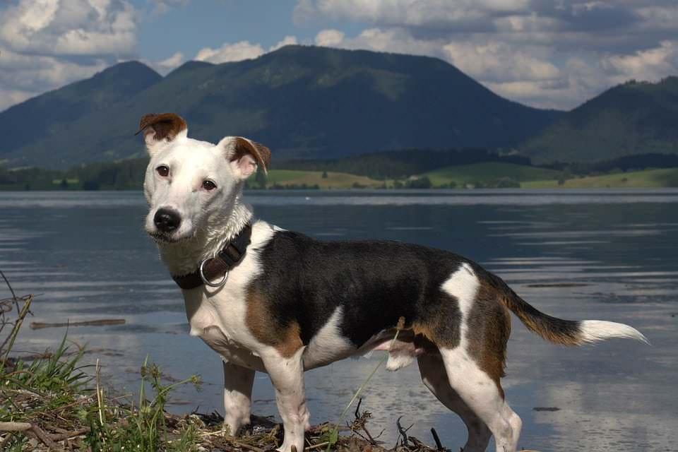 Rasseporträt Jack Russel Terrier