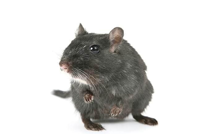 Der schwarze Hamster | Bedeutung, Herkunft und mehr